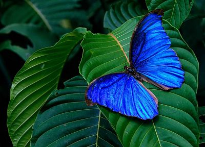 blue morpho - random desktop wallpaper