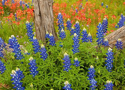 blue, Country, Texas, blue flowers, Bluebonnet - random desktop wallpaper