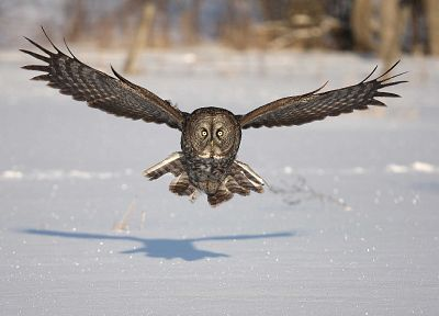 snow, birds, animals, owls - related desktop wallpaper