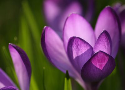 flowers, crocus, purple flowers - random desktop wallpaper