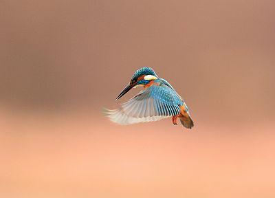 nature, birds, kingfisher - desktop wallpaper