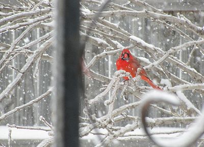 snow, birds, branches, Northern Cardinal - desktop wallpaper