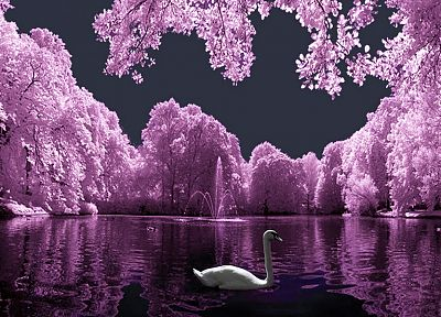 birds, purple, colored, swans, lakes - random desktop wallpaper