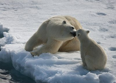 ice, animals, polar bears - related desktop wallpaper