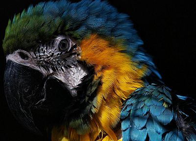 birds, parrots, Blue-and-yellow Macaws - random desktop wallpaper