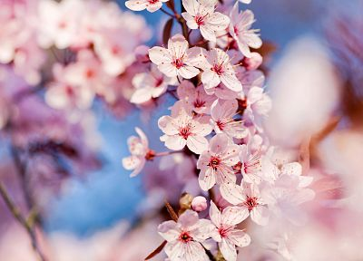 nature, cherry blossoms, flowers, depth of field, pink flowers - related desktop wallpaper