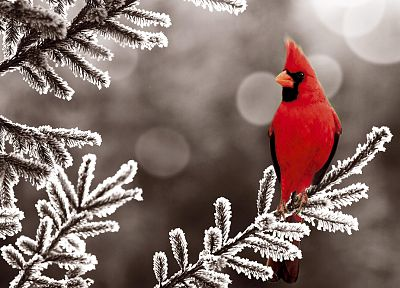 birds, Northern Cardinal - random desktop wallpaper