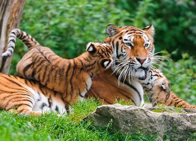 nature, cats, animals, tigers, wildlife - related desktop wallpaper