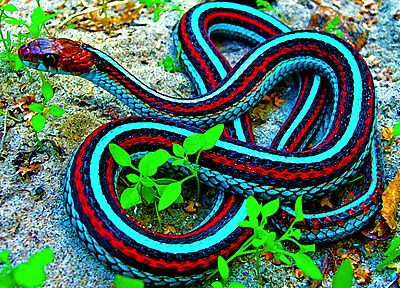 snakes, reptiles, Garter Snakes - related desktop wallpaper