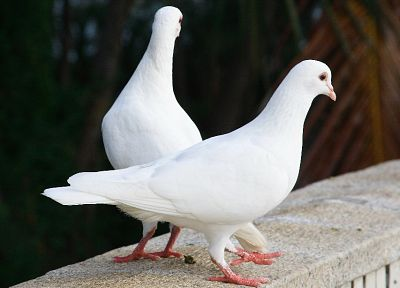 animals, pigeons - random desktop wallpaper