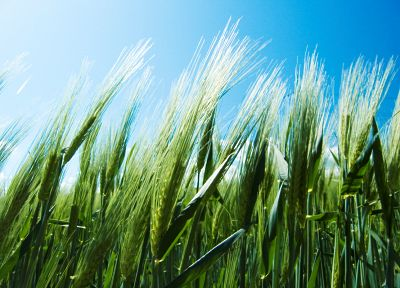 nature, wheat, blue skies - desktop wallpaper