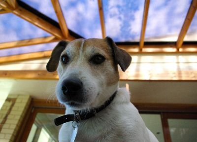 animals, dogs, Jack Russell terrier - related desktop wallpaper