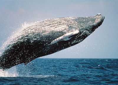blue, ocean, nature, back, Life magazine, jumping, US Marines Corps, whales, humpback whales - related desktop wallpaper