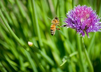 flowers, bees, Thistles - random desktop wallpaper