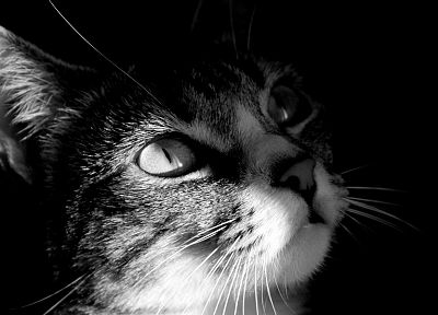 close-up, cats, animals, grayscale - random desktop wallpaper