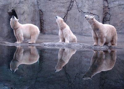water, animals, reflections, polar bears - related desktop wallpaper