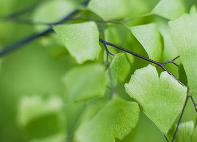 nature, leaf, leaves, plants, Ginko Biloba - random desktop wallpaper