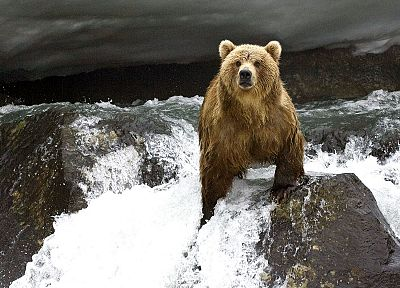 animals, bears, rivers - related desktop wallpaper