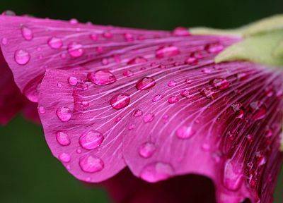 flowers, water drops, macro, depth of field - related desktop wallpaper