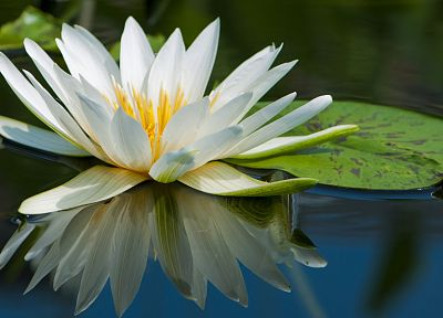 floating, lily pads, reflections, white flowers, water lilies - random desktop wallpaper