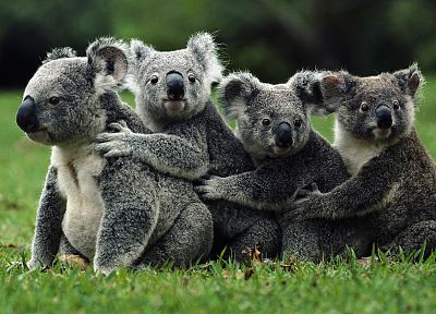animals, koalas - random desktop wallpaper