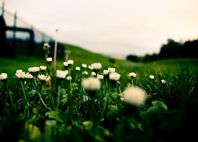 green, close-up, nature, flowers, grass, daisy - related desktop wallpaper