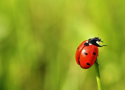 nature, insects, depth of field, ladybirds - related desktop wallpaper