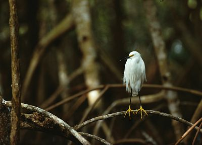 birds, Florida, National Park, branches, snowy egret, egrets, Everglades - random desktop wallpaper