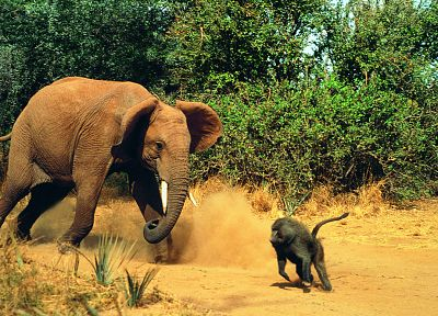 animals, fight, elephants, monkeys, baboon - related desktop wallpaper