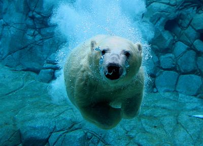water, animals, swimming, polar bears - related desktop wallpaper