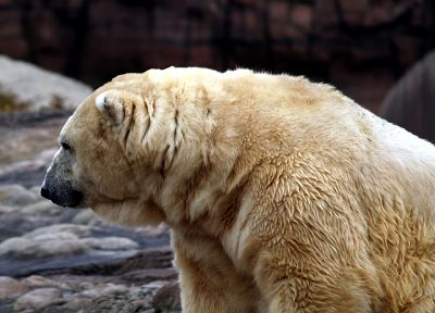 animals, polar bears - related desktop wallpaper