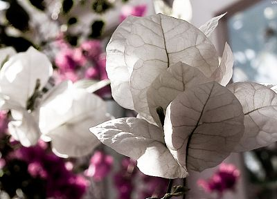nature, flowers, bougainvillea - random desktop wallpaper