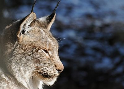 close-up, nature, animals, lynx - random desktop wallpaper