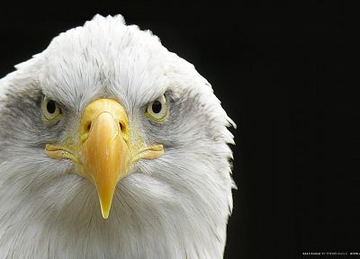 birds, eagles, bald eagles - random desktop wallpaper