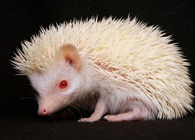 white, animals, hedgehogs, red eyes, albino - related desktop wallpaper