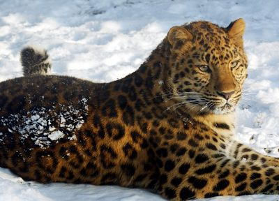 animals, leopards - related desktop wallpaper