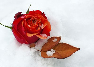 nature, winter, snow, flowers, roses - desktop wallpaper
