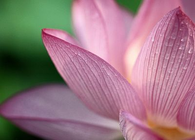 nature, flowers, water drops, macro, lotus flower - desktop wallpaper