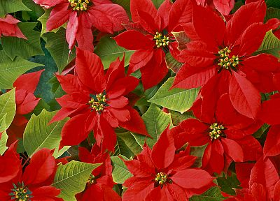 flowers, plants, poinsettia - random desktop wallpaper