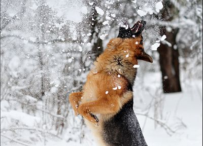 snow, animals, dogs - random desktop wallpaper