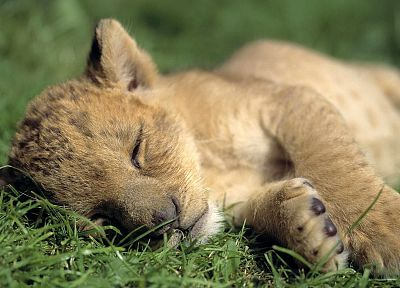 animals, lions, baby animals - random desktop wallpaper