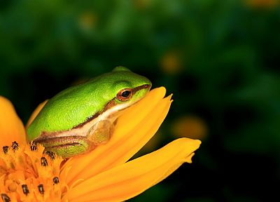 frogs, dwarfs, yellow flowers, amphibians, tree frogs - random desktop wallpaper
