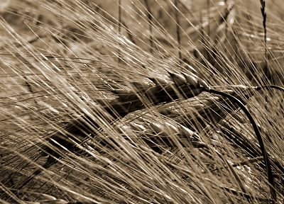 nature, wheat, Flora - related desktop wallpaper
