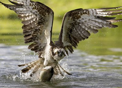 water, birds, fish, osprey, hunting, hawks - related desktop wallpaper