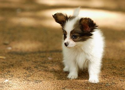 animals, dogs, Papillon - random desktop wallpaper