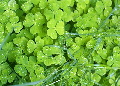 green, close-up, nature, plants, water drops, clover - random desktop wallpaper