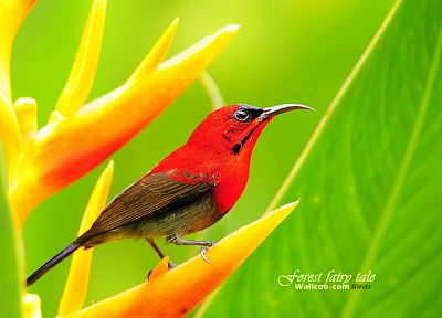 green, nature, birds, animals, wildlife, Sunbirds - desktop wallpaper