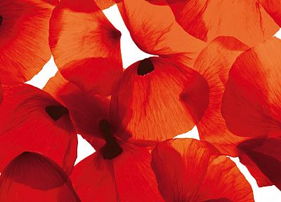 flowers, poppy, flower petals - desktop wallpaper