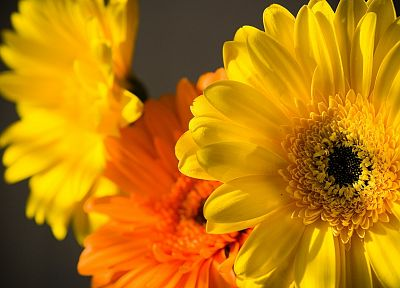 nature, flowers, yellow flowers, chrysanthemums - desktop wallpaper