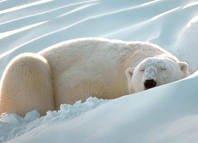 snow, animals, sleeping, polar bears, Artic - random desktop wallpaper